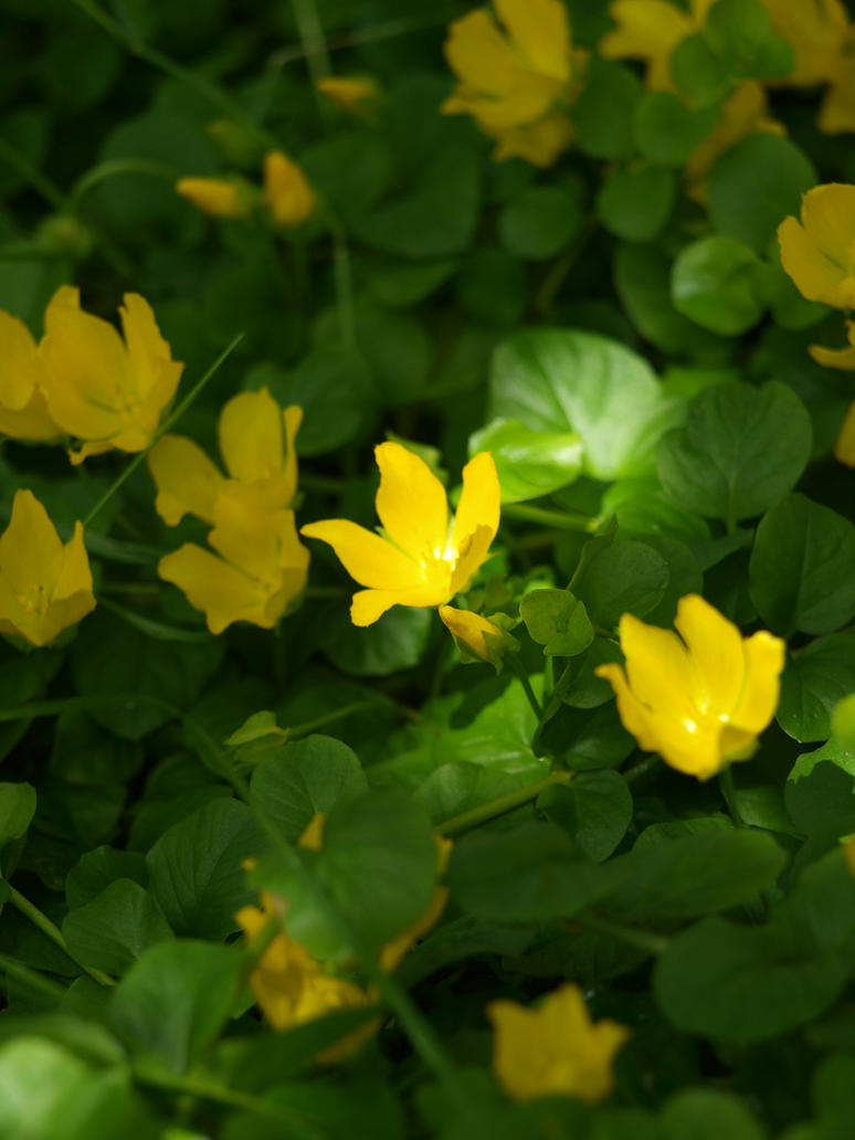 Yellow Flowering Groundcover Unidentified 03 By Botanystock On