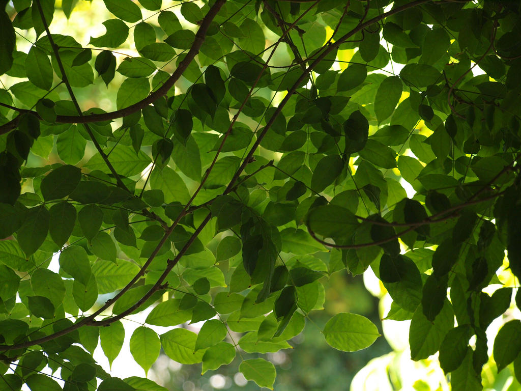 Wisteria Foliage by botanystock