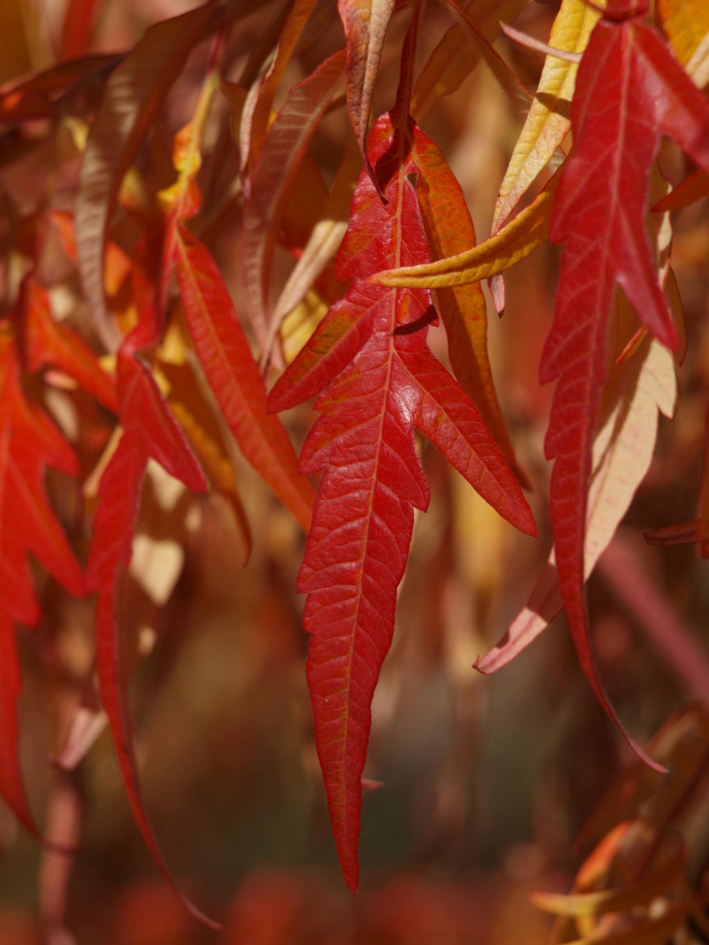 Staghorn Sumac 01 by botanystock