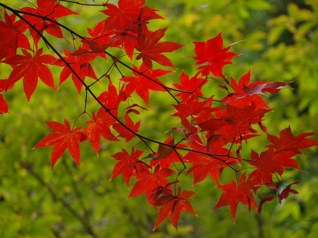 Maple 25 by botanystock