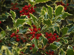 Fruiting Holly 01 by botanystock
