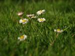 Lawn Daisies 01