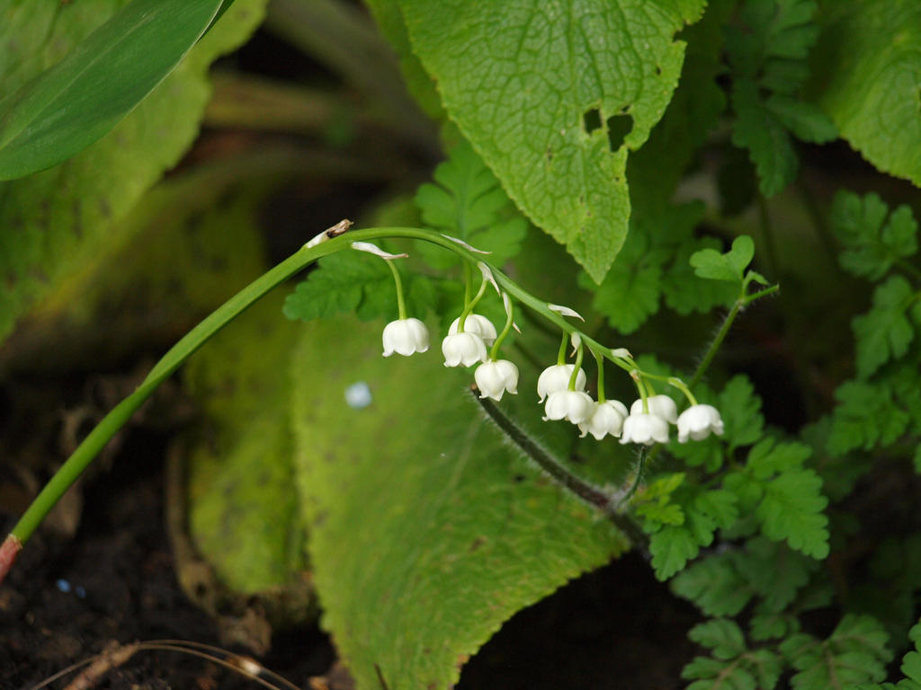 Lily of the Valley 01 by botanystock