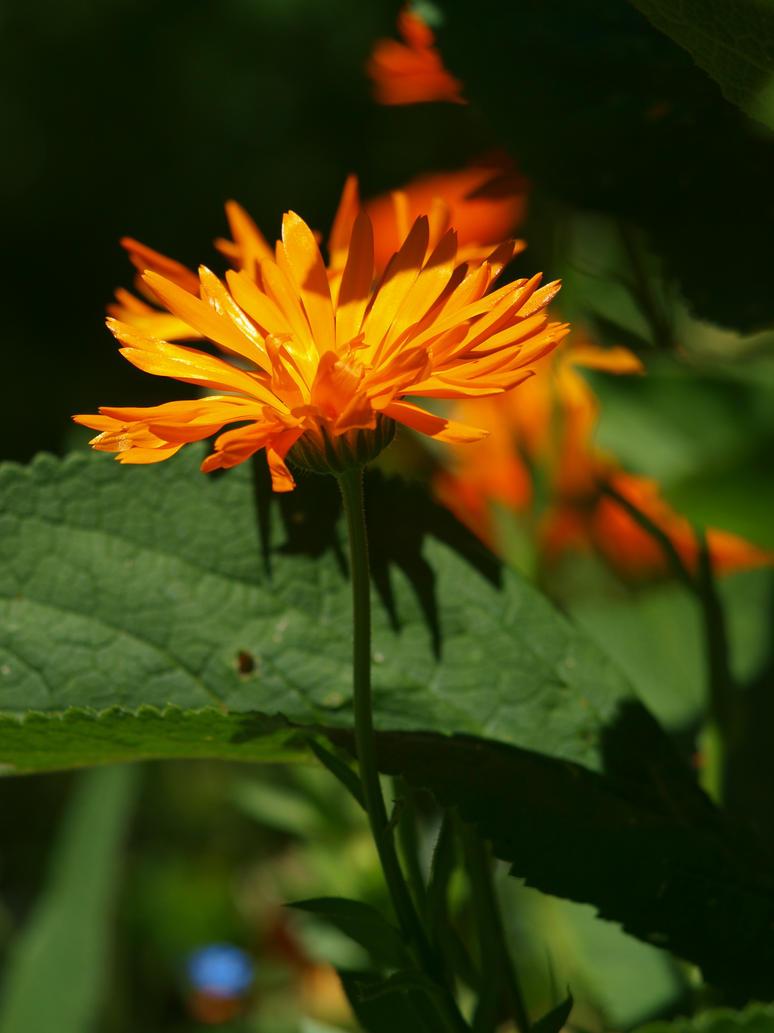 Calendula 14 by botanystock