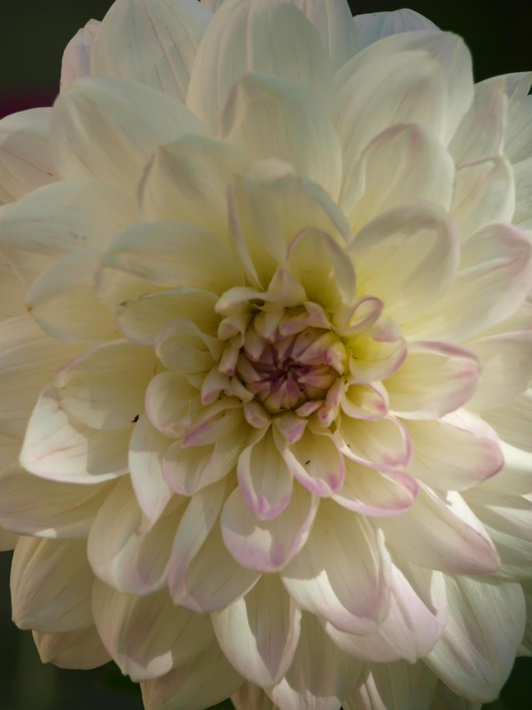 Dahlia 03 by botanystock