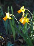 Sun After Rain: Daffodil 02