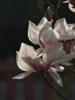 Magnolia 17 by botanystock