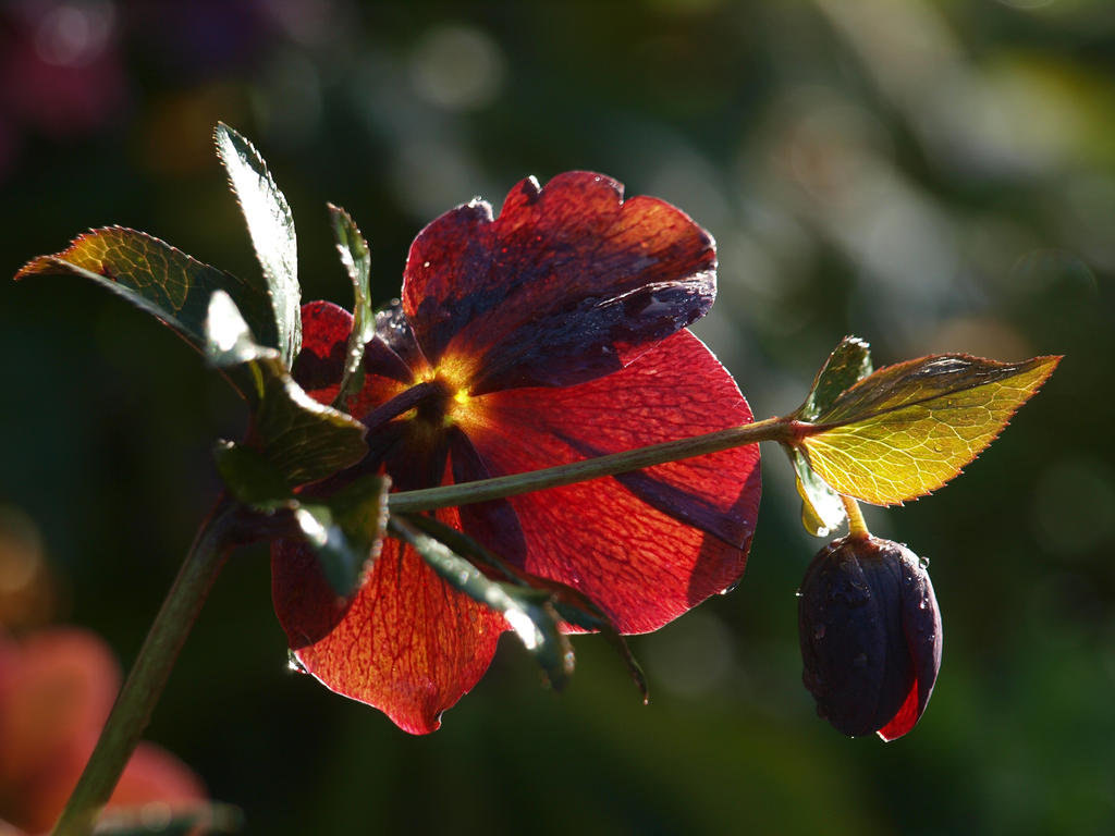 Lenten Rose 06 by botanystock
