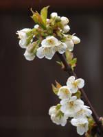 Bing Cherry Blossom 02 by botanystock