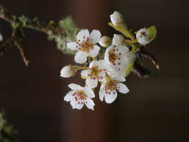 Pear Blossom 07 by botanystock