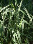 Dappled Light Grass Stock