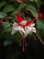 Swingtime Fuchsia 02 by botanystock