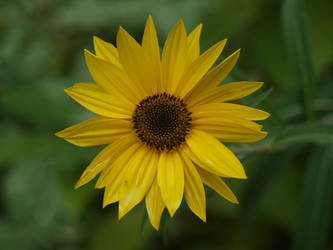 Maximilian Sunflower Stock 25 by botanystock
