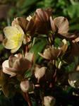 Lenten Rose Stock 14