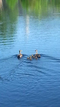 Ducks and their ducklings