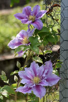 just more clematis by OfTheDunes