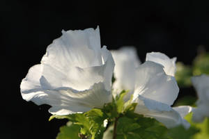 White Hibiscus by OfTheDunes