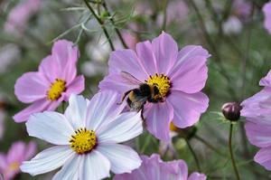 Bumblebee on Cosmeas by OfTheDunes