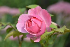 Da Vinci Rose by OfTheDunes