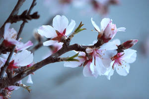 Almond Blossoms 2 by OfTheDunes