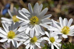 White Anemones by OfTheDunes