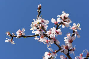 Almond Blossoms No. 5 by OfTheDunes