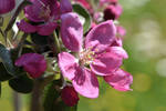 Red Apple Blossoms No 2