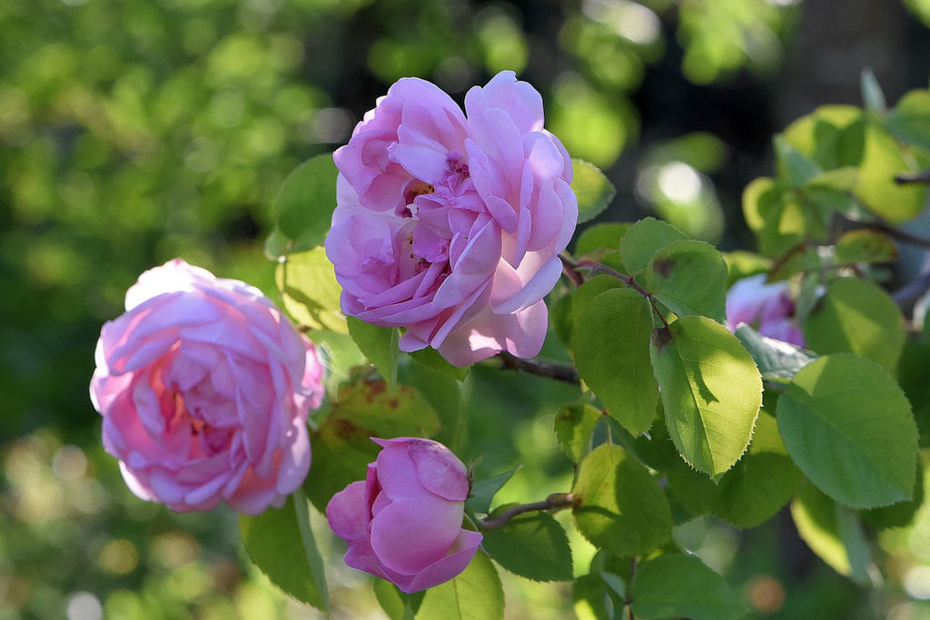 Shakespeare-Roses No. 1 by OfTheDunes