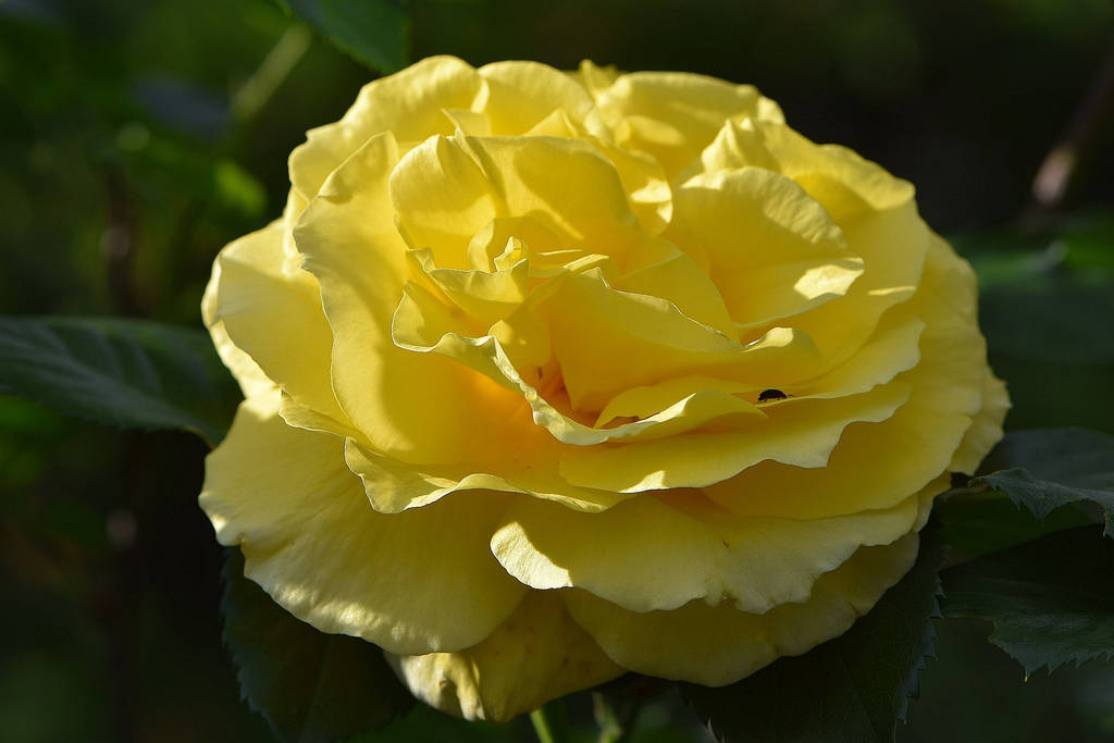 Yellow Rose No. 4 by OfTheDunes