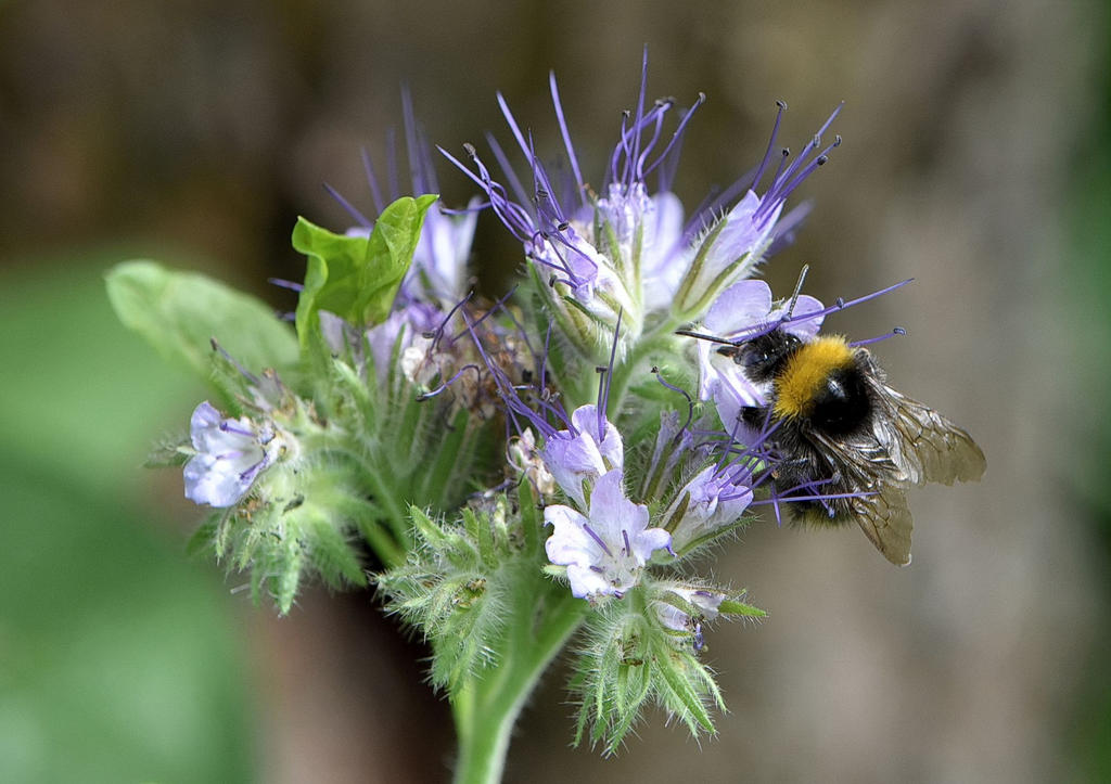 Little Bumblebee on Phacelia by OfTheDunes