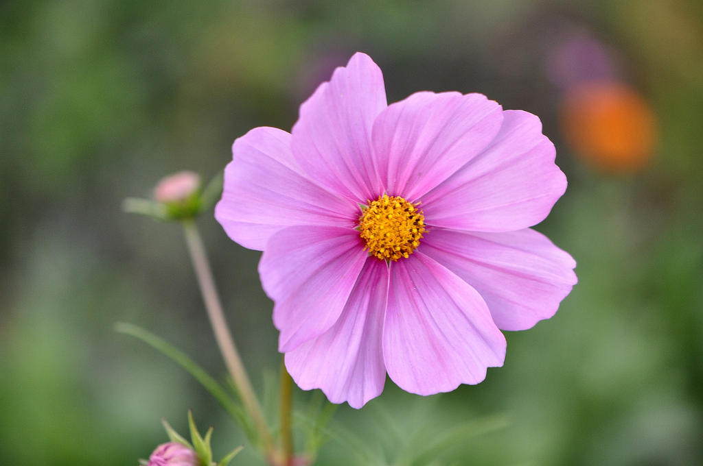 Yet Another Cosmea No. 2 by OfTheDunes
