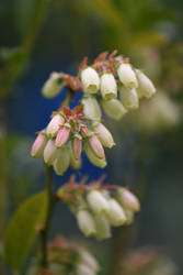 Blueberry Blossoms No 2 by OfTheDunes
