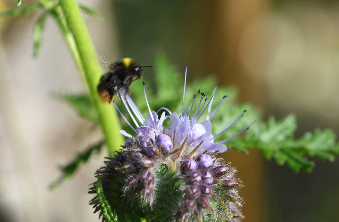 Bumblee with Phacelia by OfTheDunes