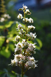 Horse Chestnut Blossom by OfTheDunes