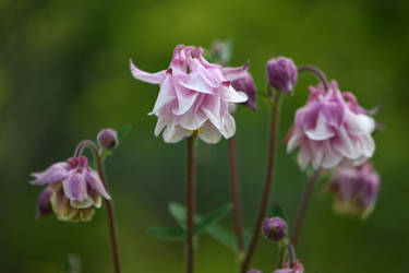 Columbine Flower by OfTheDunes