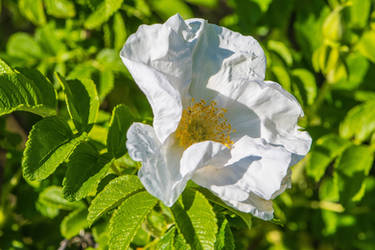 Wild Rose in White