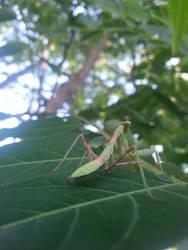 Camping - Mantis - 2