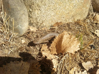 Camping - Western Fence Lizard - 1