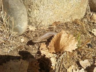 Camping - Western Fence Lizard - 1