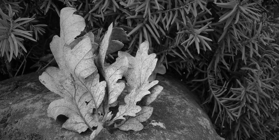 Perfectly Ruffled Oak by SaraRalston