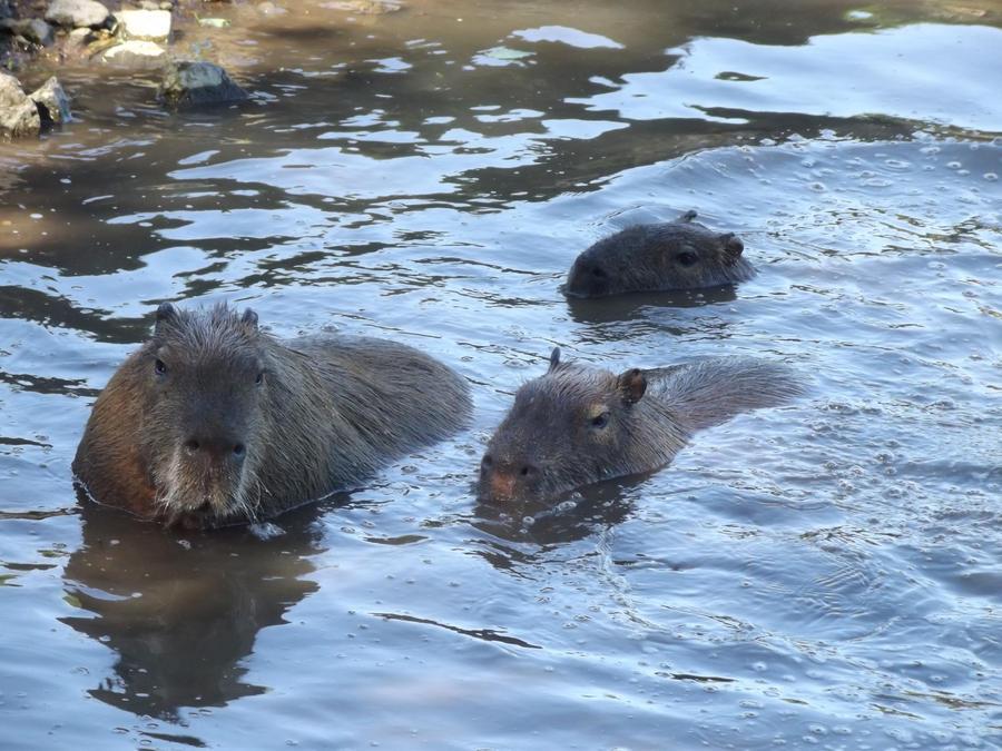 Capybara Swim by Nanauk on DeviantArt
