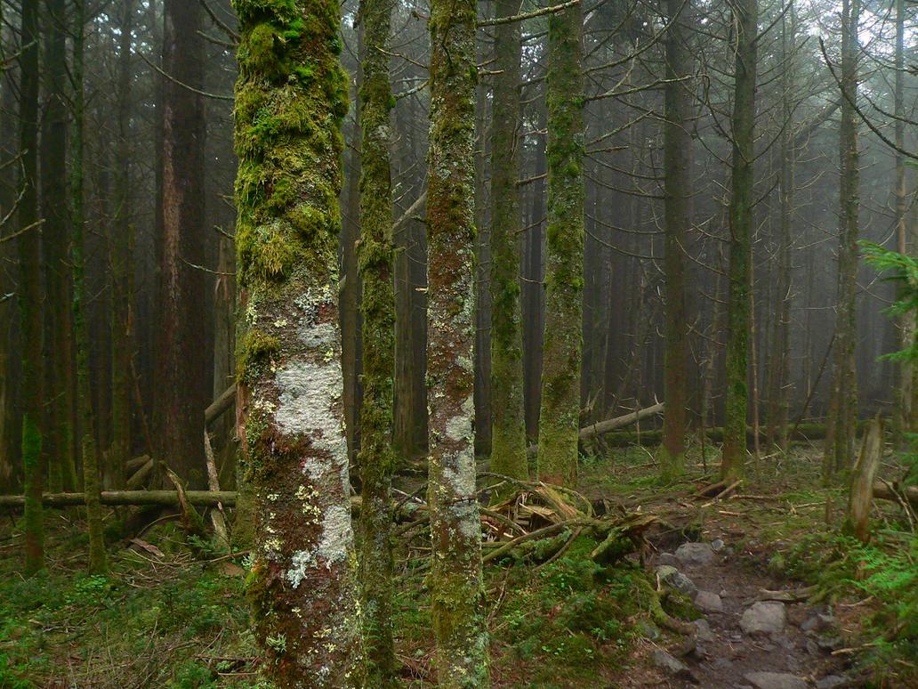 Red  Spruce Grove 2 by Llammastache