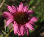 Wild flower by Iamno-Scientist
