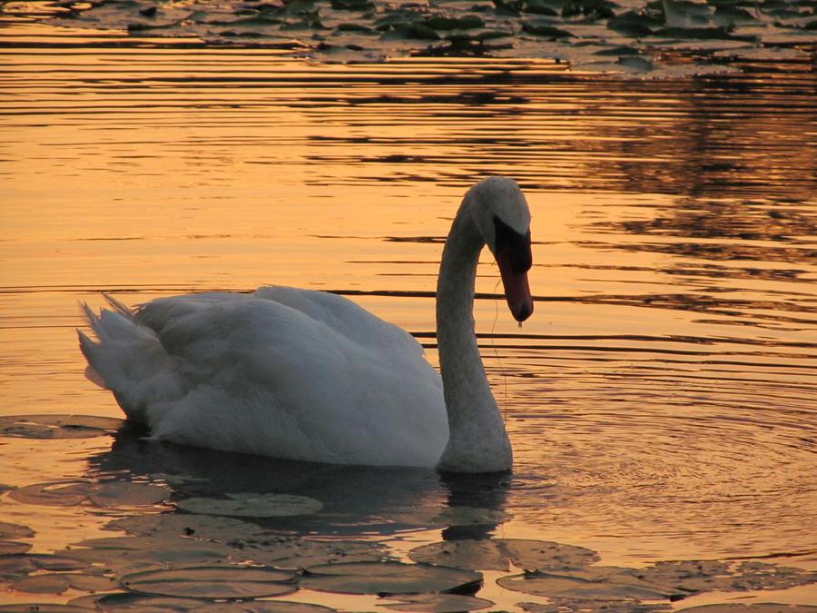 Swan Sunset by cheekz-jess