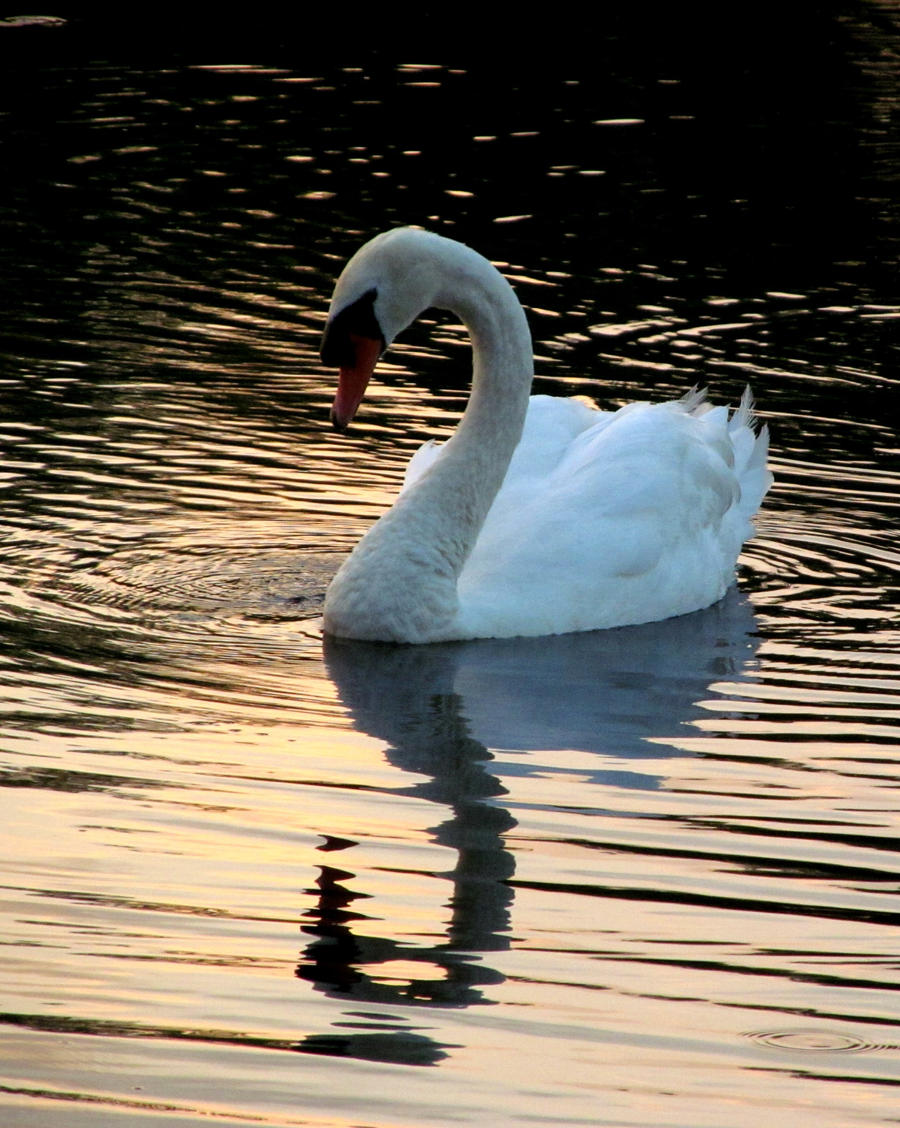 Lovely Swan by cheekz-jess