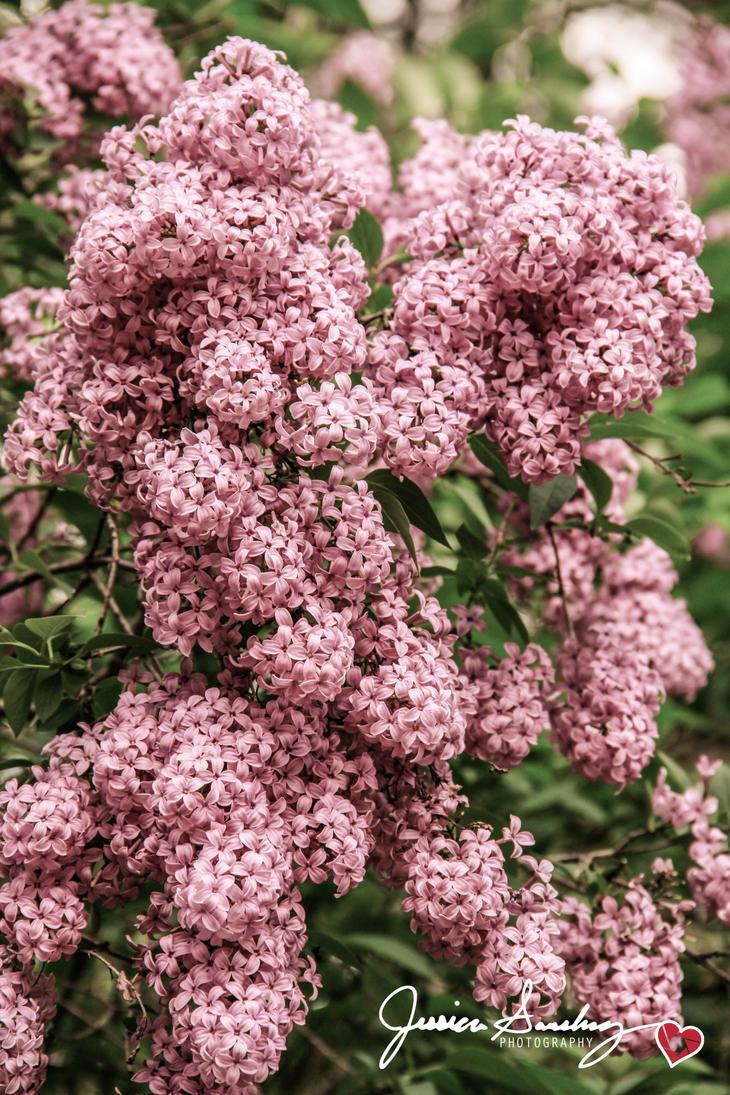 Blossoming by cheekz-jess