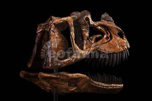 Ceratosaurus magnicornis by EoFauna