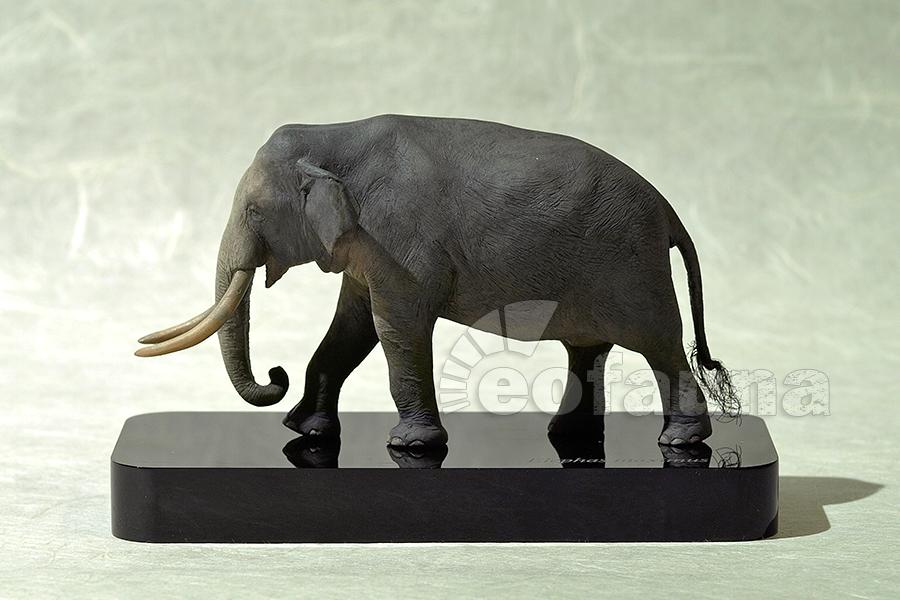 Asian elephant (Elephhas maximus) by EoFauna on DeviantArt