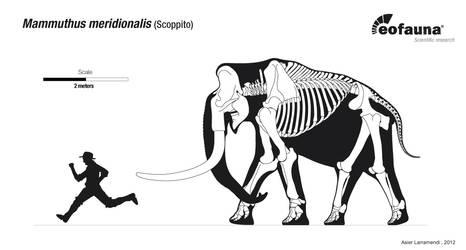 Mammuthus meridionalis skeletal