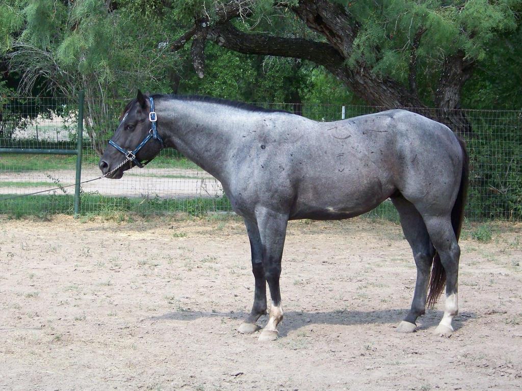 Blue Roan Horse Paint